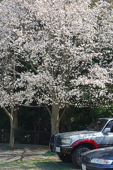 1503清水ヶ丘桜4