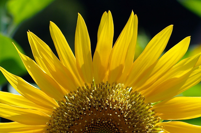 sunflower 上大岡のヒマワリ(向日葵)