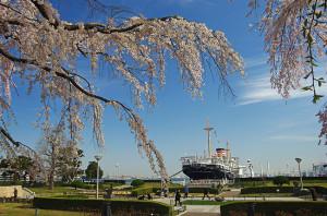 横浜の桜 山下公園のしだれ桜と氷川丸