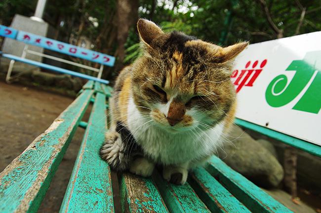 江の島神社の猫