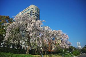 横浜の桜 ホテルニューグランド前のしだれ桜