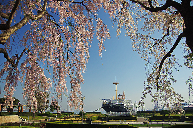 1503山下公園桜