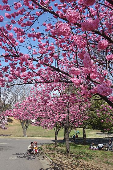1503清水ヶ丘桜