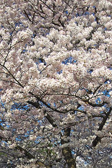 1503山手68番館の桜4
