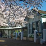 1503山手68番館の桜