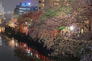 横浜の桜 大岡川の夜桜