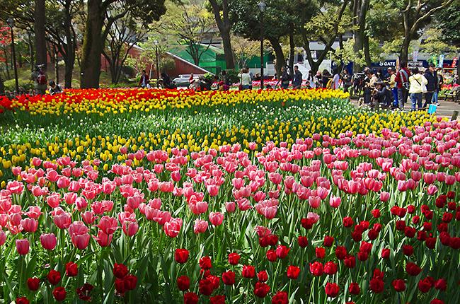 横浜公園チューリップ2015-2