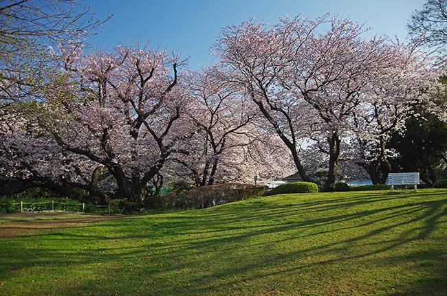 1503山手68番館の桜-2