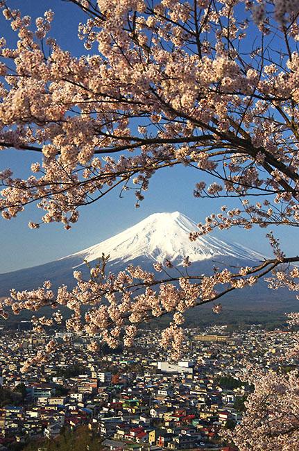新倉浅間神社の富士山と桜-2