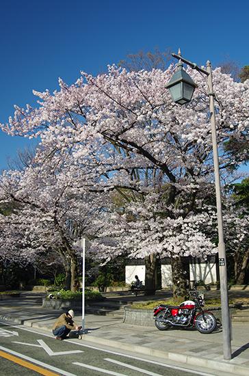 1503山手の桜