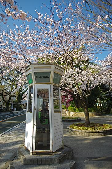 1503山手の桜-3