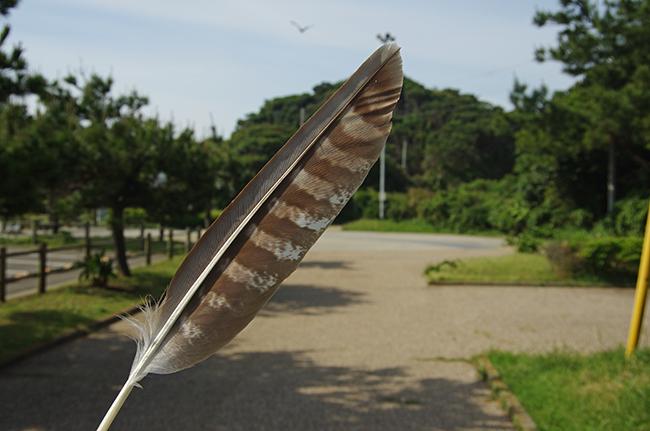 荒崎トンビの羽1505