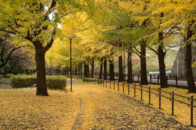 横浜・保土ヶ谷公園のイチョウ並木 2015