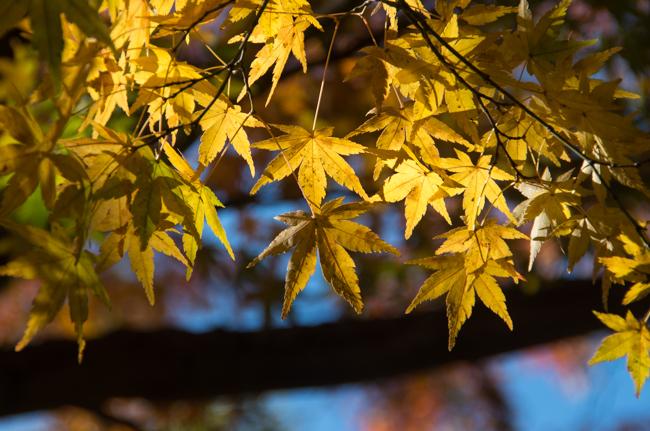 鎌倉源氏山公園の紅葉2015-3