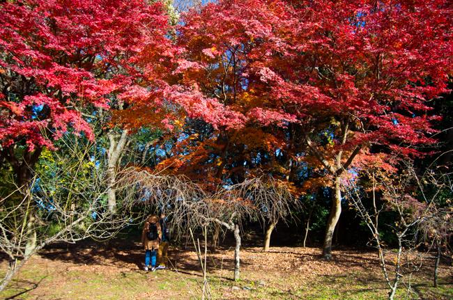 鎌倉源氏山公園の紅葉2015-2