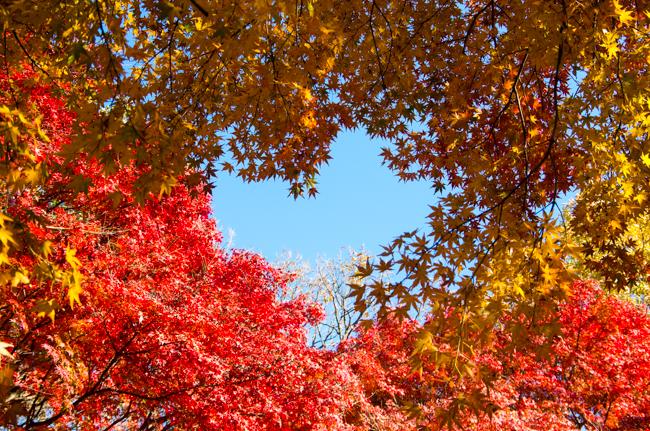 鎌倉源氏山公園の紅葉2015-5
