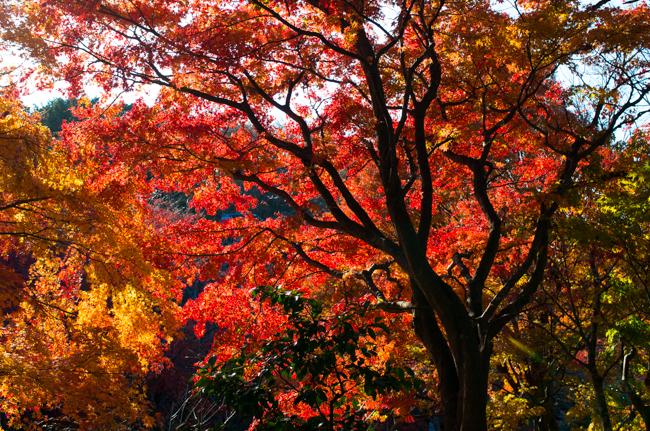鎌倉源氏山公園の紅葉2015-6