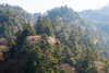 モミの原生林サムネイル