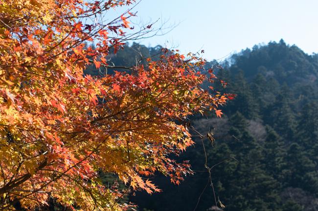丹沢モミの原生林-6