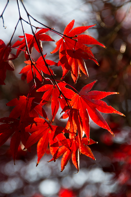 鎌倉源氏山公園の紅葉2015-4