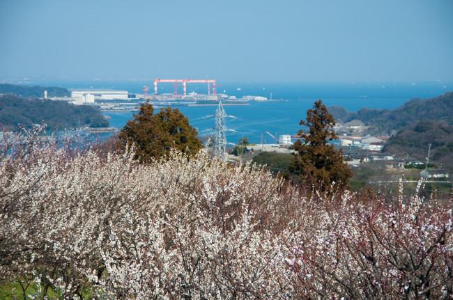 田浦梅林2016  JR田浦駅〜田浦梅の里