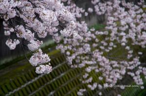 大岡川の桜2016 南区桜祭り