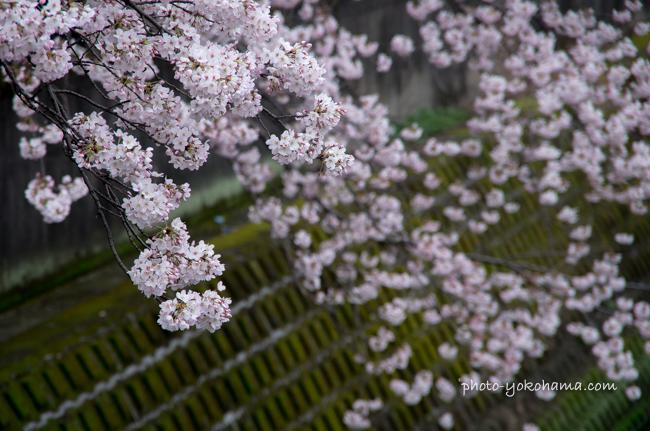 大岡川の桜160402-4