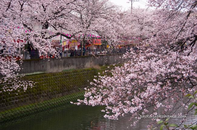 大岡川の桜160402-3
