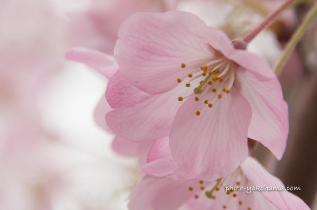 大岡川の桜160402-9