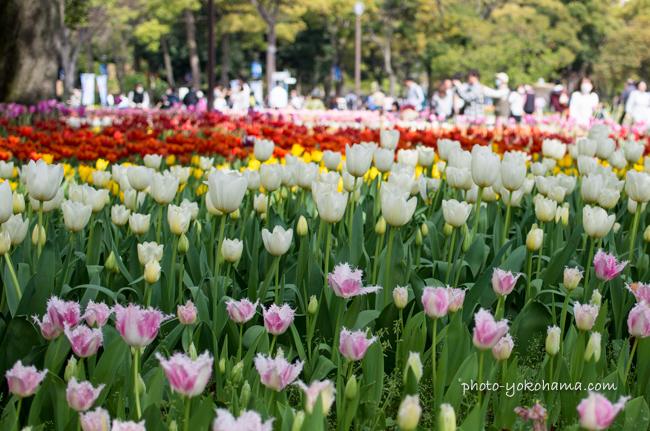 横浜公園チューリップ2016-2