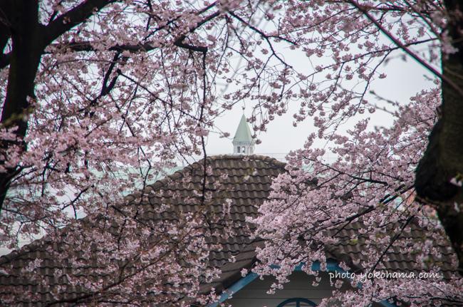 山手68番館の桜201604-5