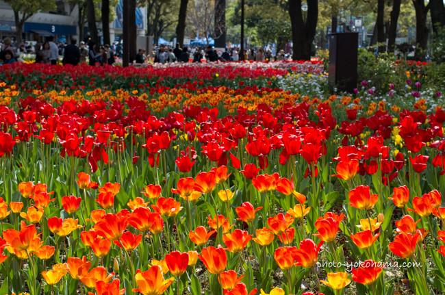横浜公園チューリップまつり2016