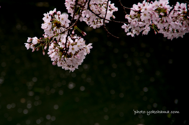 大岡川の桜160402-5
