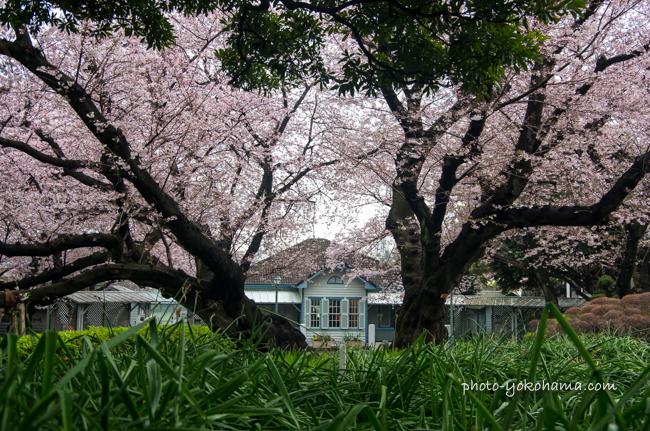 山手68番館の桜201604-4