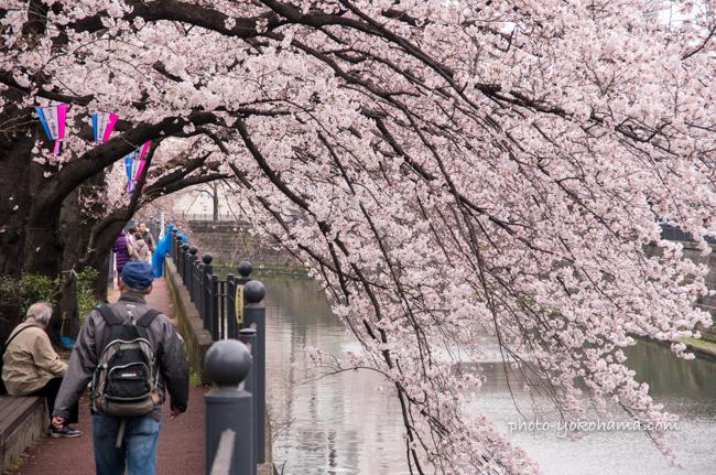 大岡川の桜160402-12