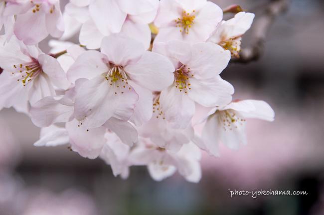 大岡川の桜160402-7