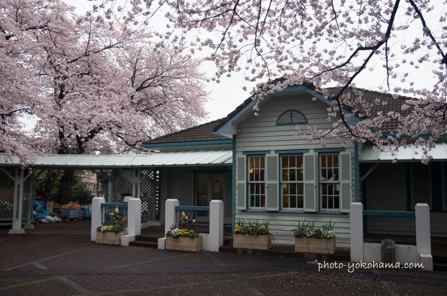 山手68番館の桜201604-3