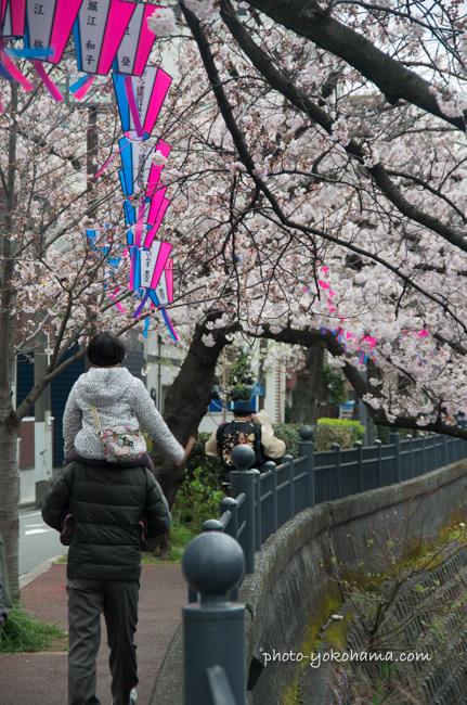 大岡川の桜160402